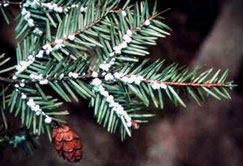 Insect Threat to Hemlock Trees Discovered in Cook Forest, Clear Creek State Parks