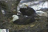 NR015_14_Pittsburgh_Eagle_First_Egg_2_T