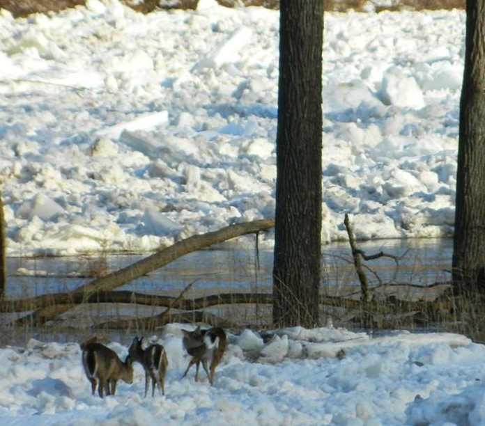 Three deer stranded in the middle of the ice jam near Parker. Photo captured by Sharon Knight-Geary.