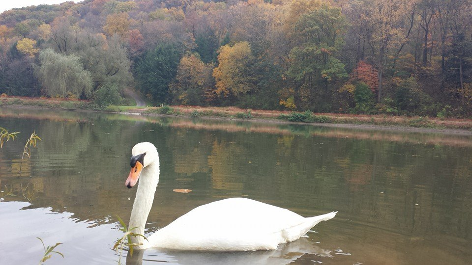 """""""The Trumpeter Swan in Gumtown Park, New Bethlehem, was enjoying a nice fall day (yesterday)."""" Submitted by Frank Pago III."""