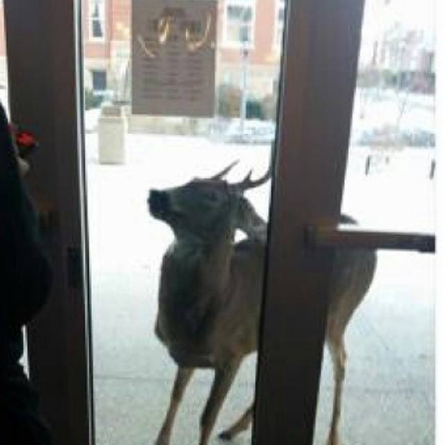 """""""This deer met students at the Clarion University Library on Friday.""""  Submitted by Marishika Wright."""