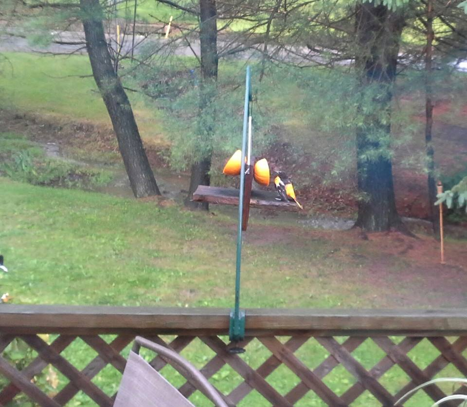 """A male Baltimore Oriole enjoying an orange in the rain in Fisher, Pa.""  Submitted by Missy Varner Culp‎."