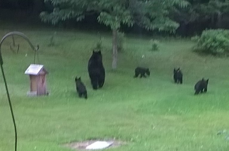 """Mama and 4 cubs.""  Submitted by Noreen Allen Shirey."